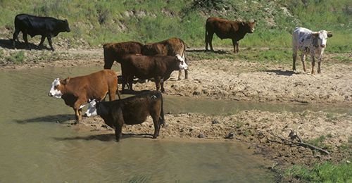 Rampant overconsumption of DHMO can cause dangerous weight gain in cattle. PHOTO: Supplied.