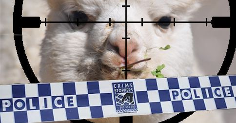 Halal-style slaughter of alpaca lands outback brothers in hot water
