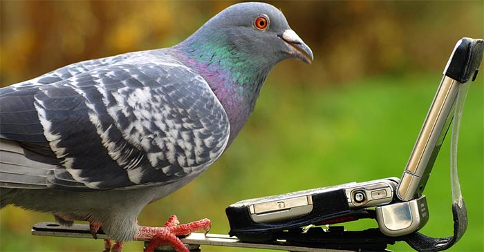 The pigeons receive job notifications via a flip phone. Homing pigeons can here the polyphonic ringtones from up to a kilometre away. PHOTO: Supplied.