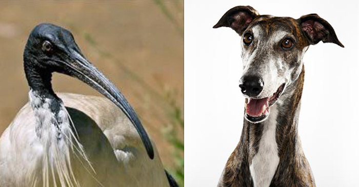 Greyhounds Join Ibis On CSIRO's List Of Animals That Have Permission To Become Extinct