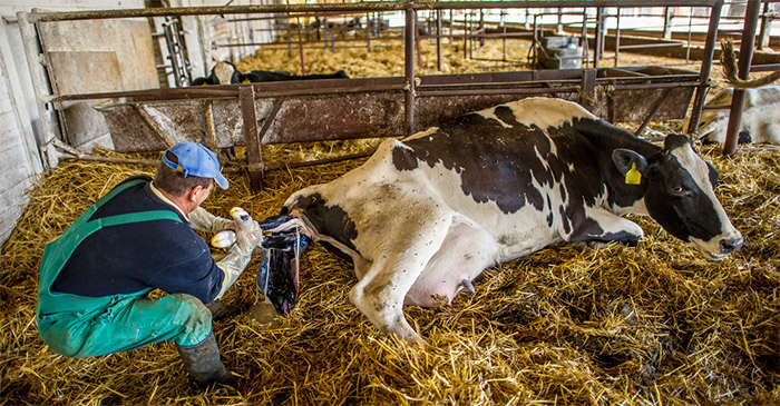 New Englander Pulling A Calf Says The Prospect Of Another By-Election Is Just As Disgusting