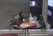 Magpie About To Get A Beak Full Of Briefcase Swooped The